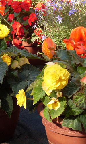 Begonia Planter Donington Nurseries Derby DE74