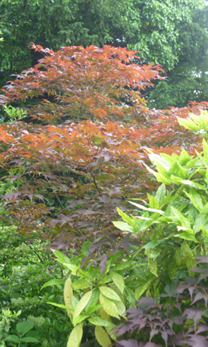 japanese acer garden centre derby