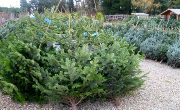 Christmas Trees Derby Nottingham Leicester Castle Donington Long Eaton